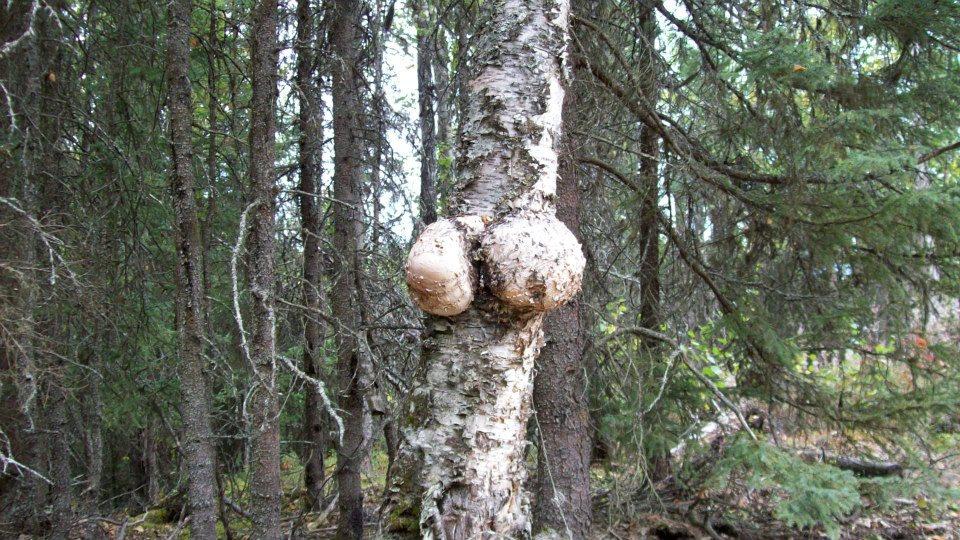 boobtree