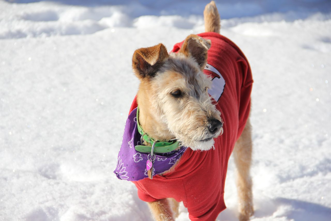 Sage, My Irish Terrier/Airdale