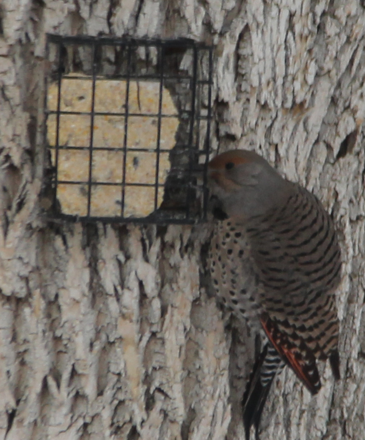 About 0 F and this Flicker didn't leave the suet block for a long time.