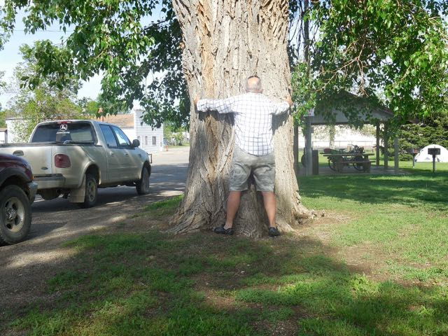Good sized cottonwood tree.