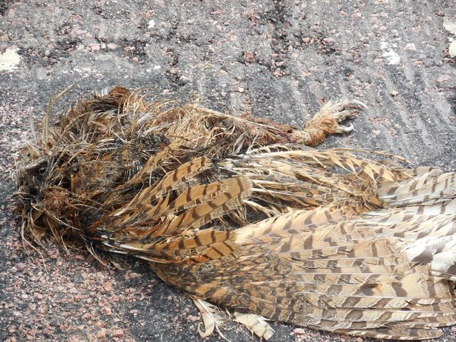 A very dead and flat horned owl